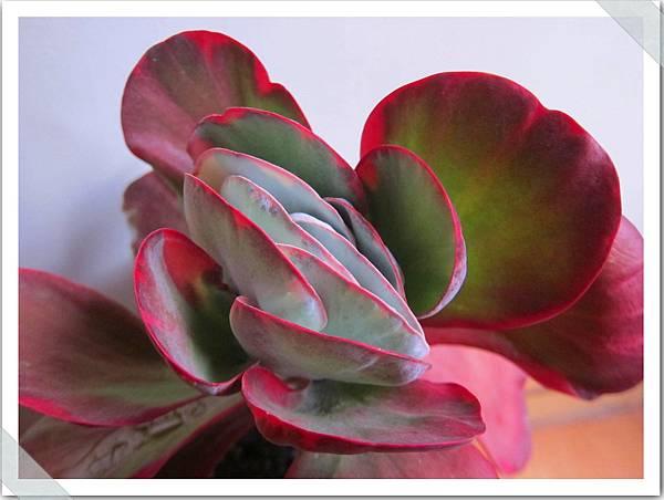 唐印錦 多肉植物