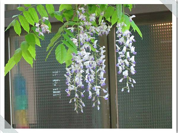阿里山紫藤