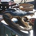 鱷魚的大嘴巴