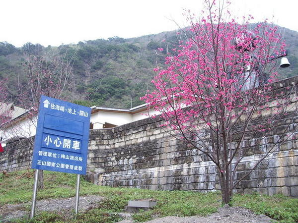 梅山遊客中心外~好多的櫻花盛開.JPG