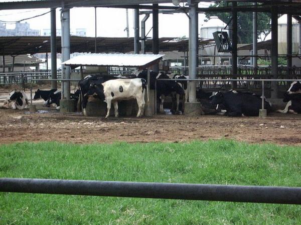 東海的牛...