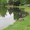湖邊的一對天鵝