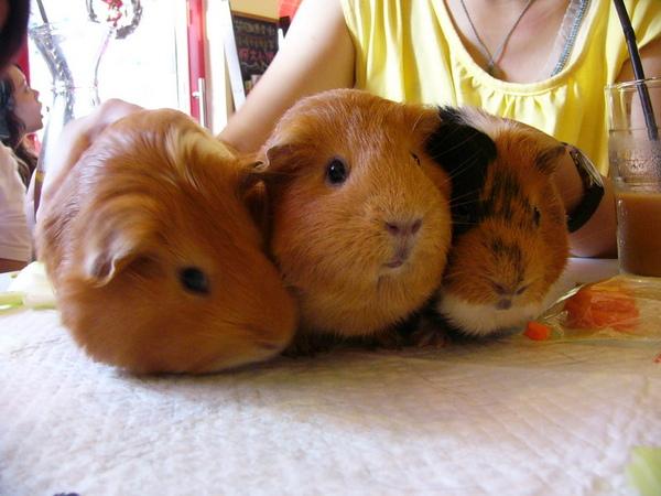 以下是一連串三豬合照