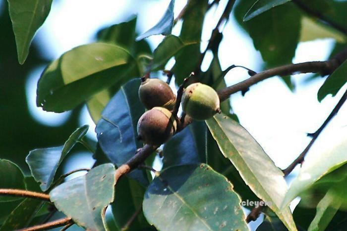 圓果青剛櫟