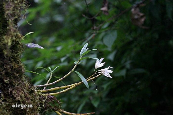 白石斛-1