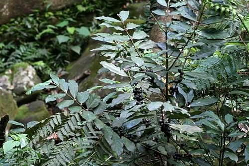 雞屎樹-1