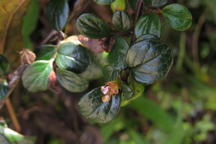 粉紅花鋪地蜈蚣  (2)