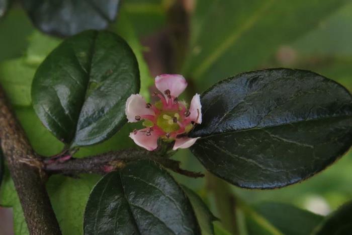 粉紅花鋪地蜈蚣  (3)