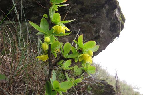 玉山小檗 (1)