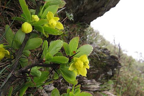 玉山小檗 (3)