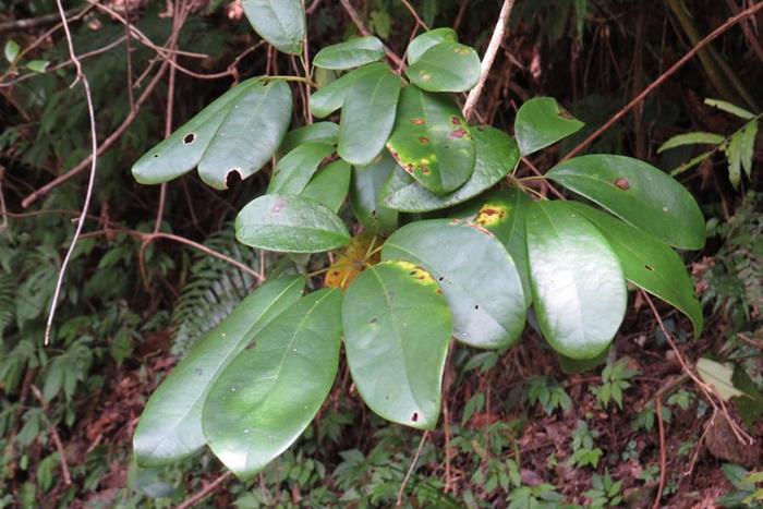 鈍藥野木瓜 (4)