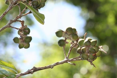 -三斗石櫟 (2)