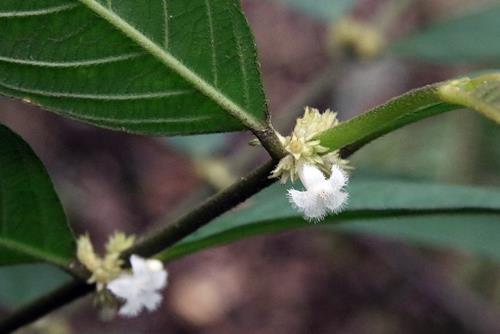 台灣雞屎樹-花 (1)
