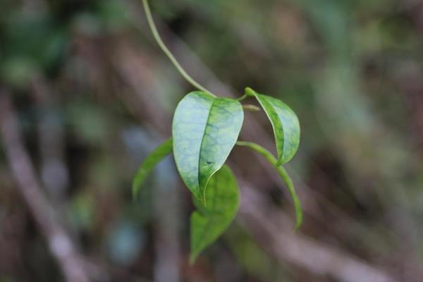 披針葉茉莉花-3