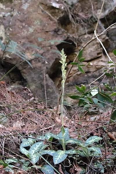 大武斑葉蘭 (6)