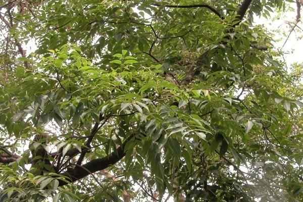 賊仔樹-3