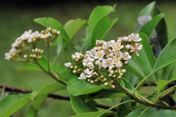 台東石楠 Photinia serratifolia var. ardisiifolia  (1)