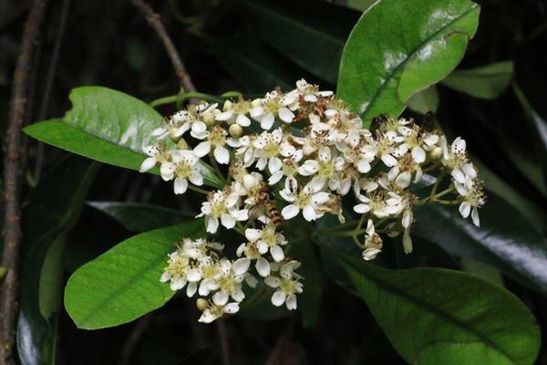 台東石楠 Photinia serratifolia var. ardisiifolia  (3)