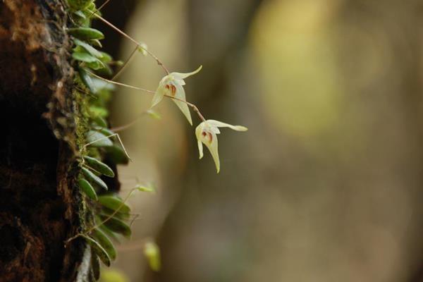 狹萼豆蘭 (1)