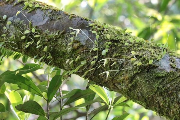 狹萼豆蘭 (3)