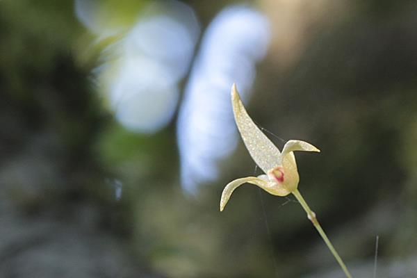 狹萼豆蘭 (7)