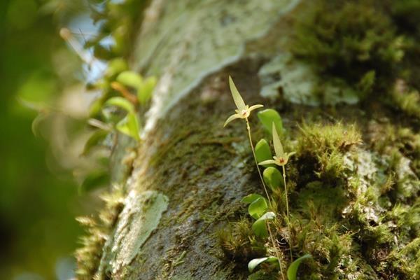 狹萼豆蘭 (6)
