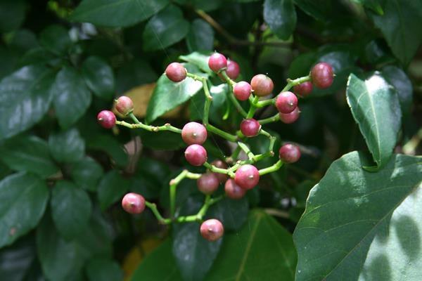 角花烏斂莓 (7)