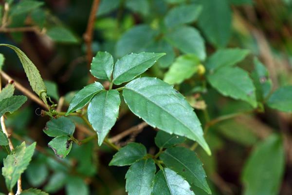 角花烏斂莓 (3)