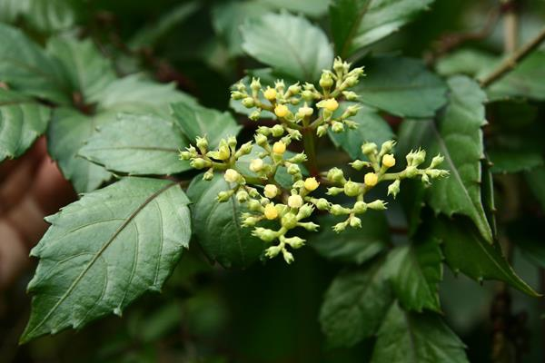 角花烏斂莓 (1)