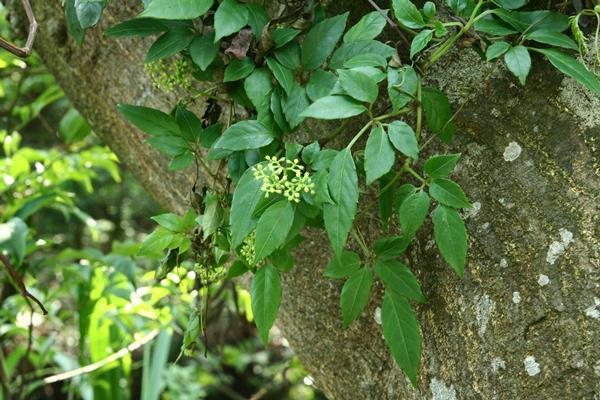 角花烏斂莓 (2)