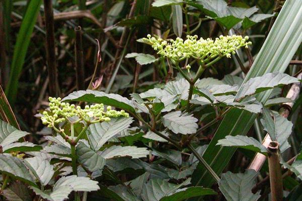 烏斂莓-3