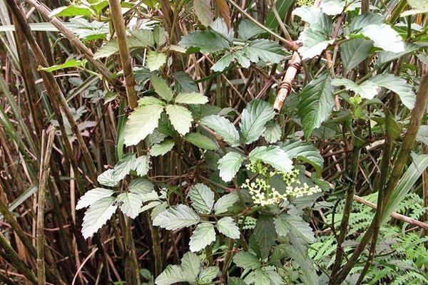 烏斂莓-1