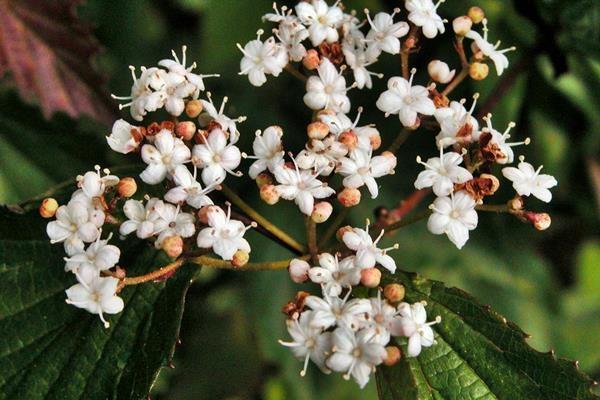 樺葉莢迷 (4)