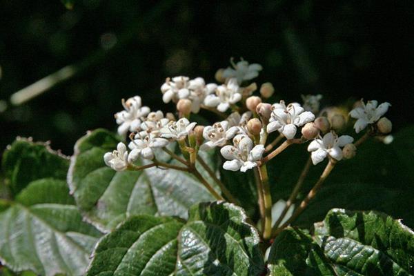 樺葉莢迷 (1)