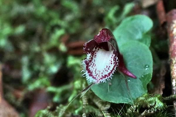 紅盔蘭  (2)