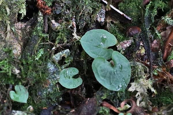 紅盔蘭  (3)
