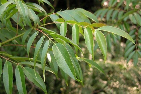木蠟樹 Rhus succedanea-2