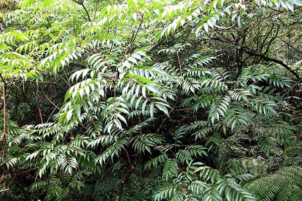 木蠟樹 Rhus succedanea-1