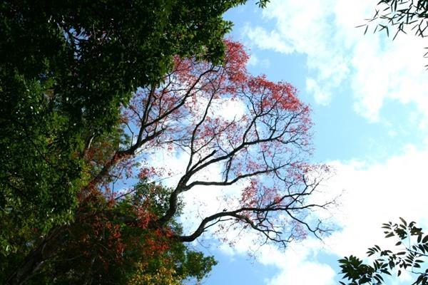 木蠟樹 Rhus succedanea-10