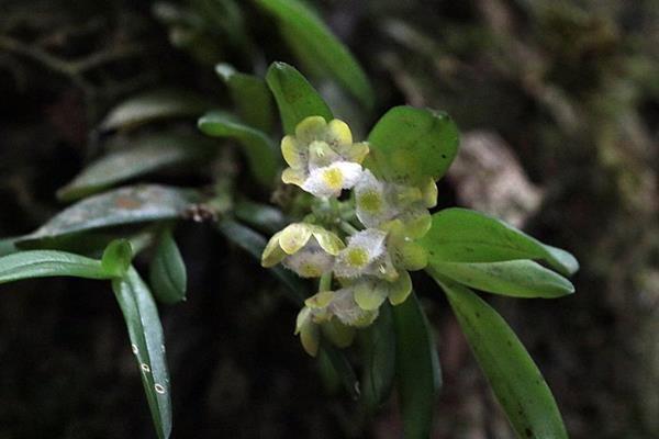 寬唇松蘭  (3)