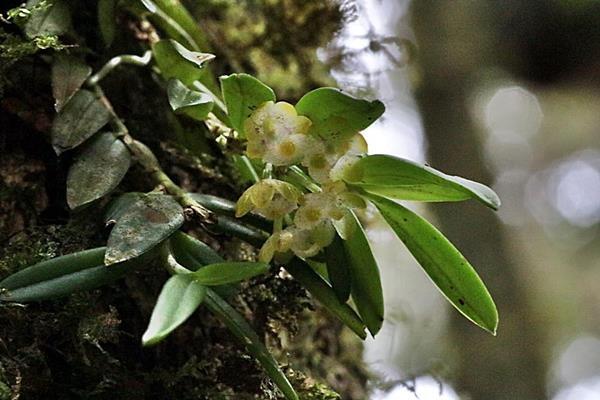 寬唇松蘭  (1)