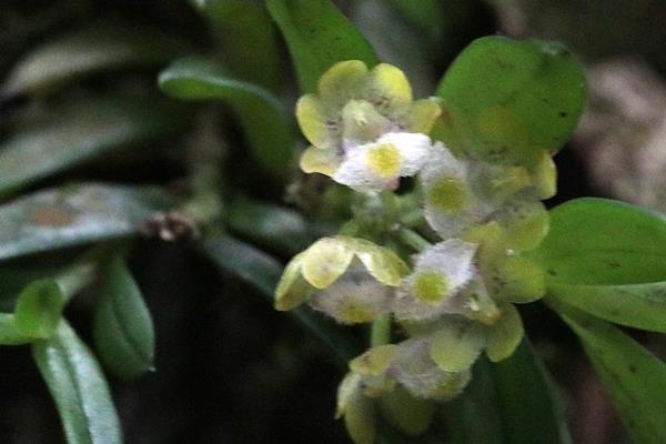 寬唇松蘭  (4)
