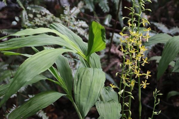 Cephalantheropsis obcordata 綠花肖頭蕊蘭  (2).JPG