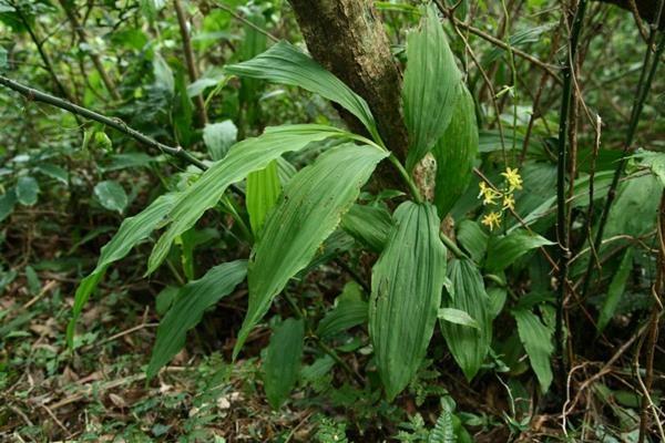Cephalantheropsis obcordata 綠花肖頭蕊蘭  (7).jpg