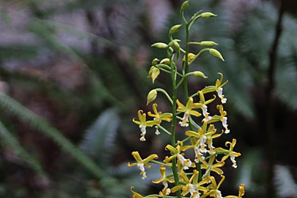 Cephalantheropsis obcordata 綠花肖頭蕊蘭  (4).JPG