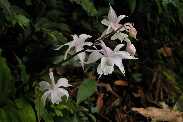 Calanthe arisanensis 阿里山根節蘭  (5).jpg