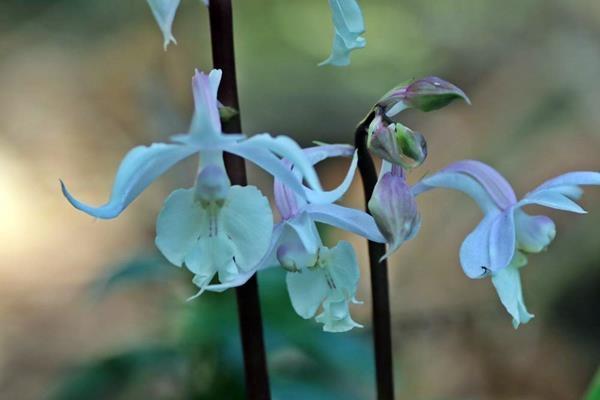 Calanthe arisanensis 阿里山根節蘭 (3).JPG