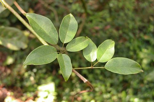 Stauntonia obovatifoliola 石月  (7)