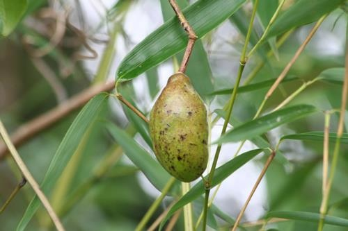Stauntonia obovatifoliola 石月  (4)