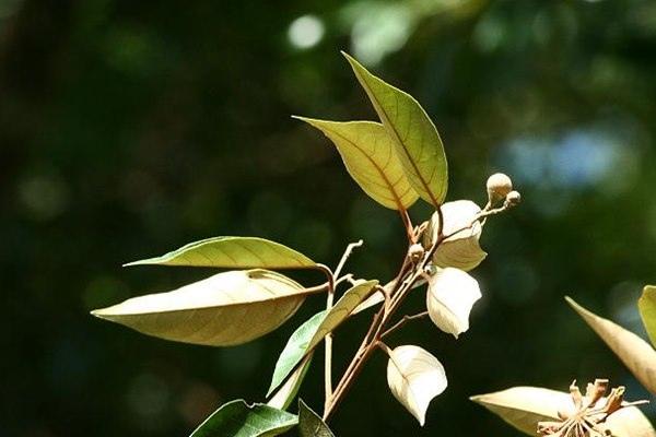 Styrax suberifolia 紅皮-1